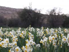 گشت و گذار در جنگل ابر و نرگس زار کازرون، دشت گل خزان ندیده